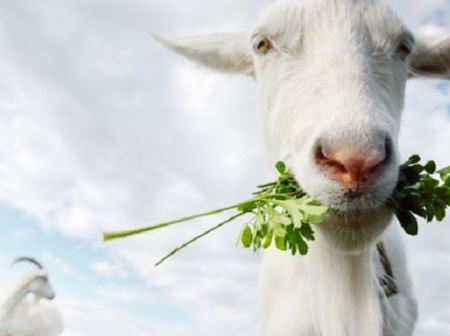 Снимка за категория Агрегати за доене на кози